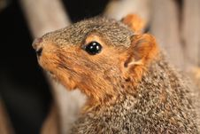 Free Fox Squirrel Royalty Free Stock Photography - 14800517