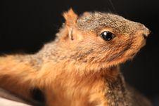 Free Fox Squirrel Stock Images - 14800524