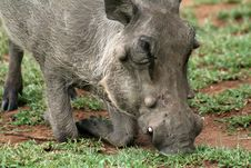 Free Warthog Eating Stock Image - 14802631
