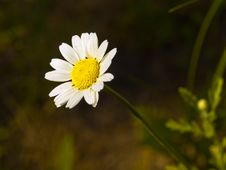 Free Camomile Stock Image - 14803161