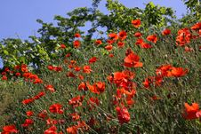 Free Red Poppies Stock Photography - 14803392