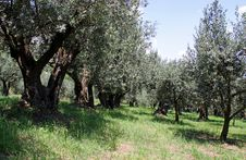Free Ancient Olive Trees Royalty Free Stock Photos - 14803638