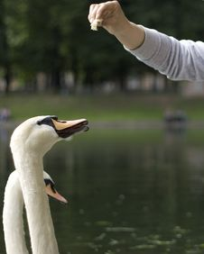 Free Feeding Swans Royalty Free Stock Images - 14803699