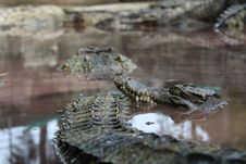 Free Crocodiles Stock Photos - 14803773