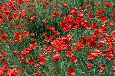 Free Red Poppies Stock Photo - 14803950