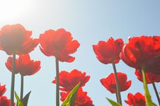 Free Many Red Tulips Royalty Free Stock Photo - 14804685