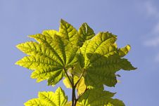 Free Acer Circinatum, Maple Leaves Royalty Free Stock Photo - 14804895