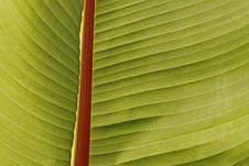 Free Ensete Ventricosum, Enset Or False Banana Royalty Free Stock Images - 14804999
