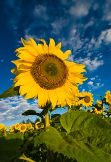 Free Sunflower Royalty Free Stock Photography - 14805907