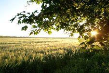 Free Green Barley Royalty Free Stock Images - 14805969