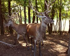 Free Deer Royalty Free Stock Photos - 14805978