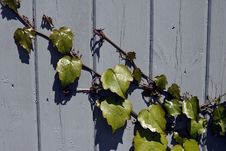 Free Ivy On Fence Royalty Free Stock Image - 14807076