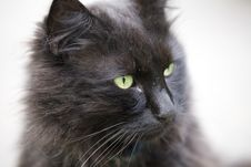 Free Black Cat Close Up Stock Photography - 14807152