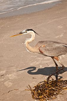 Free Great Blue Heron Stock Image - 14807481