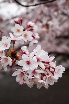 Free Sakura - Cherry Blossom Stock Photography - 14807732