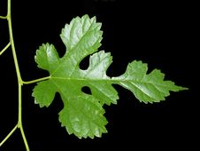 Free Leaf And Vine On Black Background Stock Image - 14807951