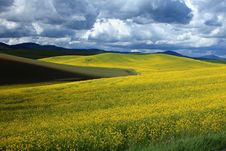 Free Mustard Field Stock Photography - 14807982