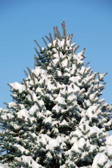 Free Background From A Fur-tree Covered With Snow Stock Photography - 14808072