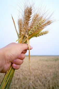Free Man Holding Wheat Royalty Free Stock Photos - 14808578