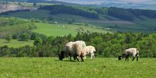 Free Grazing Sheep And Lambs Royalty Free Stock Photography - 14808607