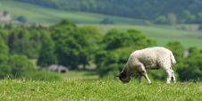 Free Hill Top Lamb Stock Image - 14808631