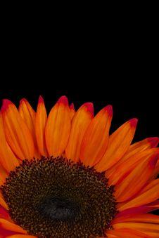 Free Close Up Of Orange Sunflower, Isolated On Black Stock Photo - 14808660