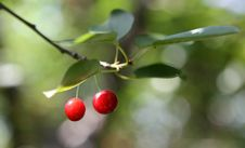 Free Cherries On A Branch Royalty Free Stock Photography - 14809127