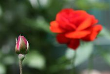 Free Red Rose Stock Photos - 14809173