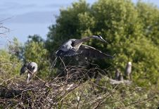 Free Great Blue Heron Royalty Free Stock Photos - 14809598