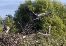 Free Great Blue Heron Royalty Free Stock Photography - 14809607