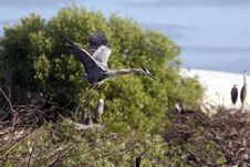 Free Great Blue Heron Royalty Free Stock Image - 14809616