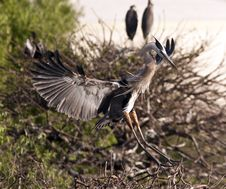 Free Great Blue Heron Stock Image - 14809621
