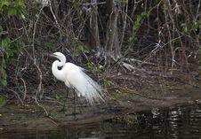 Free Snowy Egret Stock Photo - 14809650