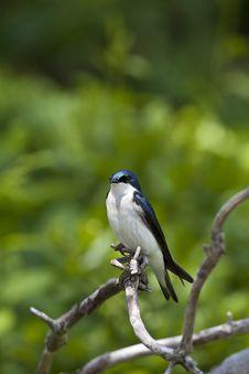 Tree Swallow, Tachycineta Bicolor Royalty Free Stock Photo