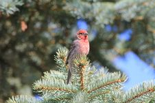 Free House Finch Stock Images - 14809694