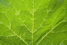 Free Green Leaf Stock Photos - 14809703
