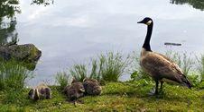 Free Canada Goose (Branta Canadensis) Stock Photo - 14809720