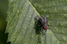 Blow Fly Stock Image