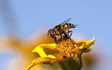 Free Bee Stock Image - 14809801