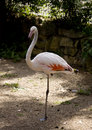 Free Flamingo Standing On One Leg Stock Images - 14811764