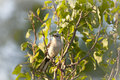 Free North American Mockingbird Stock Images - 14814924