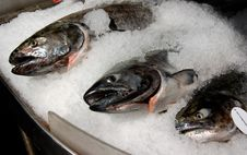 Free Salmons On The Ice Royalty Free Stock Photos - 14810068