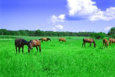 A Herd Of Horses. Royalty Free Stock Image