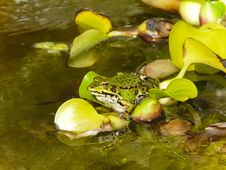 Free Toad On Leaf Stock Photos - 14811643