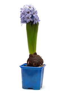 Free Blue Flower Hyacinth In A Pot Stock Images - 14812114