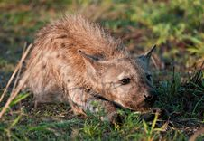 Free Spotted Hyena Resting Stock Photo - 14812400