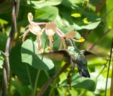 Free Feeding Humming Bird Royalty Free Stock Image - 14814126