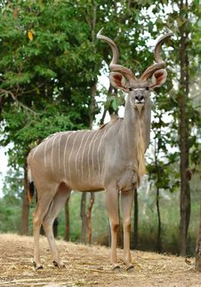 Free Kudu Royalty Free Stock Images - 14815399