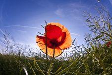 Free Poppy Flower In Meadow Stock Photo - 14815870