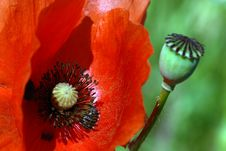 Free Red Poppy Stock Images - 14815964